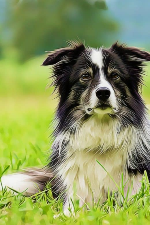 Border Collie laying in field