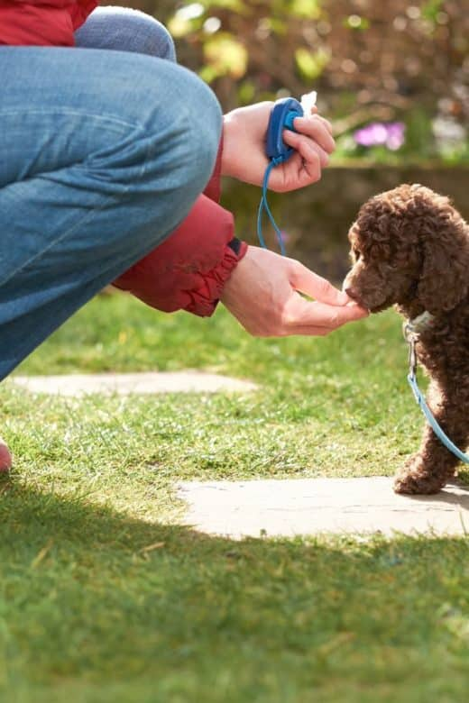Miniature poodle puppy clicker training in garden