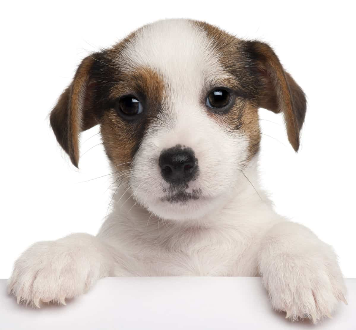 Jack Russell puppy looking over box